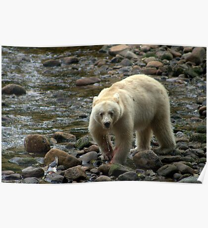 spirit bear - british columbia Poster