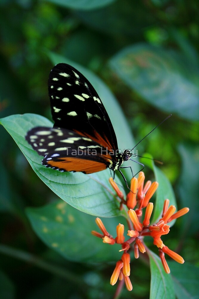 Butterfly by Tabita Harvey