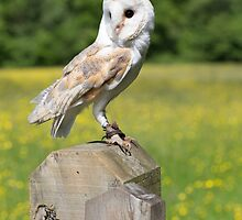 Barn Owl on gate post by Dave  Knowles