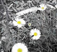 I like Daisies by fluttering