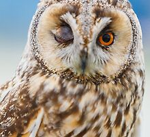 Winking Long Eared Owl by Dave  Knowles