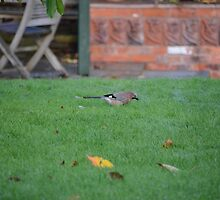 Jay On The Lawn by Malcolm Snook