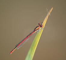 Red Damsel Fly #2 by Sandra Cockayne