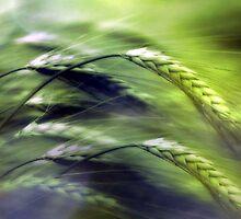 grainfield by Anne Seltmann