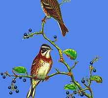 The rustic bunting by marmur