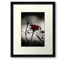 Red Rose 2537 Framed Print