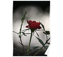 Red Rose 2537 Poster