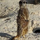 Meerkat by JillyPixie