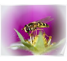 Hoverflies love strawberries too Poster