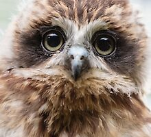 Bilbo the BooBook owl by Dave  Knowles