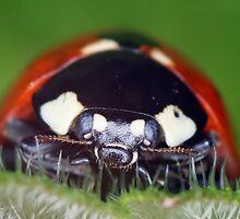 Ladybird, Ladybird by Ian Chapman