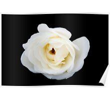 White rose in black Poster