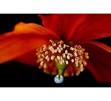 Wild Poppy Photographic Print