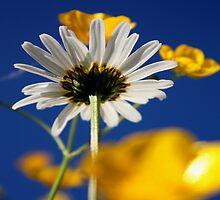 Summer Daisy by Lynn Ede