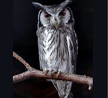 Scops Owl by Dave  Knowles