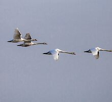 Family of Mute swans in flight by Dave  Knowles