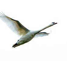 Mute Swan in flight by Dave  Knowles