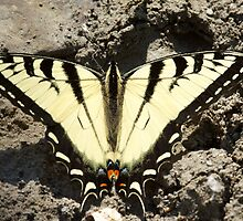 Eastern Tiger Swallowtail by withacanon