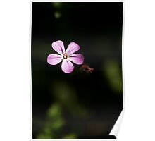 Forget-me-Not Lit by Sunlight Poster