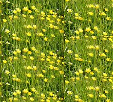 Buttercups in a meadow by Malcolm Snook