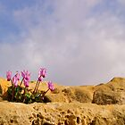 Cyprus Cyclamen by Jessica Dzupina