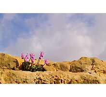 Cyprus Cyclamen Photographic Print