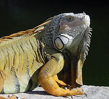 Iguana in the Florida Keys by aura2000