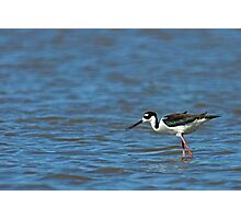 Black Necked Stilt Fishing Photographic Print