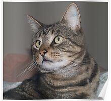 Jimmy-my Tabby Cat Poster