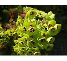 Euphorbia Black Pearl Photographic Print