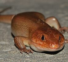 Broadheaded Skink by Michael L Dye