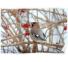 Bohemian Waxwing..feeding stop in Amherst,Nova Scotia Poster