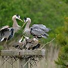Family Heron by Monte Morton