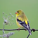 Goldfinch  by Daniel  Parent