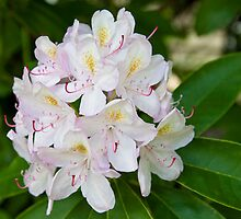 Pink Rhododendron by Barb White