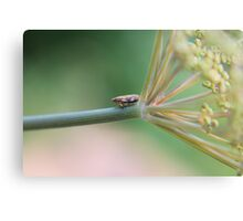 Froghopper Hops onto the Fennel Canvas Print