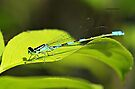 Damselfly 2 by Yannik Hay