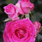 Crowd Pleaser Hybrid Tea Rose by Robert Armendariz