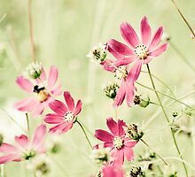 Cosmos meadow by Chrisseee
