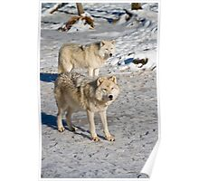 Arctic Wolves Poster