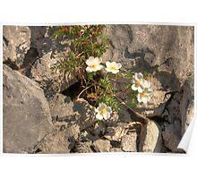 Burnet Roses Poster
