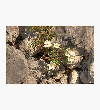 Burnet Roses Photographic Print