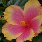 Pink and Yellow Hibiscus Bloom by SusanSalutation