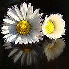 daisy pair reflected on black by purpleminx