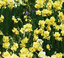 Daffs Delight by MichelleRees