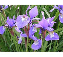 irises - garden view Photographic Print