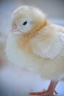 Sweet baby chick by Renee Hubbard Fine Art Photography