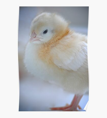 Sweet baby chick Poster