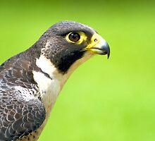 Peregrine Falcon by Jenny Dean