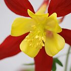 Aquilegia by SweetLemon